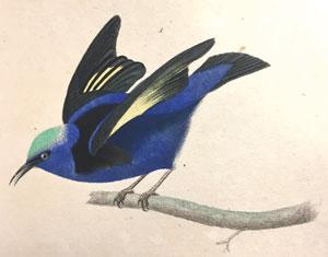 Oiseau bleu dans OEuvres complètes, Buffon, 1839