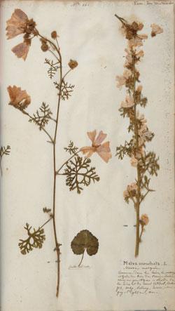 Malva Moschata (Mauve musquée), planche 161,  Herbarium Nivernense ou collection de plantes recueillies dans le département de la Nièvre, par le botaniste Alexandre Boreau entre 1828 et 1836.  © Médiathèque de Nevers